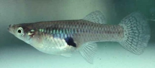 Gambusia Minnows